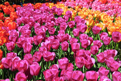 Rows of assorted tulips growing in a garden Stock Images