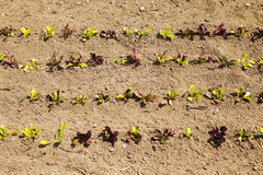 Rows Of Baby Lettuce. Plants are growing in a field on an organic farm as viewed from directly above Stock Image