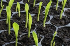 Rows of baby plants in the cultivate tray royalty free stock photo