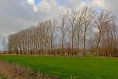 Rows of elm trees and knotted willows in between meadows in the Flemish countryside. Rows of bare elm trees and knotted willows in between lush green meadows in royalty free stock photography