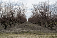 Rows of bare trees in winter peach orchard Royalty Free Stock Images