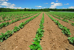 Rows of beans Royalty Free Stock Image