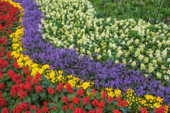 Rows of beautiful colorful flower fields red purple yellow White green . Royalty Free Stock Photos