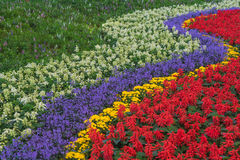 Rows of beautiful colorful flower fields red purple yellow White green . Stock Photography