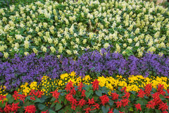 Rows of beautiful colorful flower fields red purple yellow White green . Stock Photos