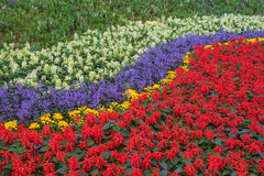 Rows of beautiful colorful flower fields red purple yellow White green . Stock Images