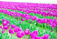 Rows of beautiful purple tulips flowers in a large field Stock Images