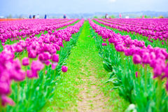Rows of beautiful purple tulips flowers in a large field Royalty Free Stock Photo