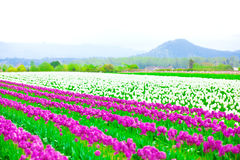 Rows of beautiful purple tulips flowers in a large field Royalty Free Stock Image