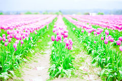 Rows of beautiful purple tulips flowers in a large field Stock Image