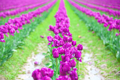 Rows of beautiful purple tulips flowers in a large field Stock Photo