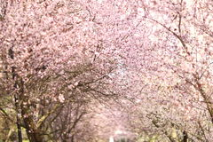 Rows of beautifully blossoming cherry trees on a green lawn Royalty Free Stock Photo