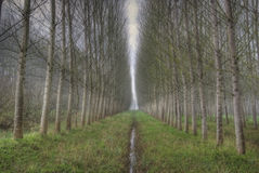 Rows of birch. In romantic forest Royalty Free Stock Images