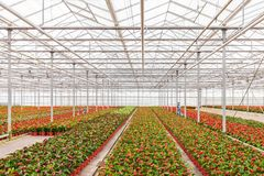 Anthurium plants in a greenhouse Stock Photography