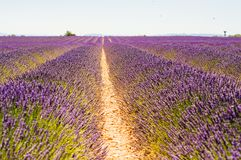 Rows of blooming lavender up to the horizont. Endless rows of lavender blooming in july in Provence planted to get scent for fragrance Stock Photos