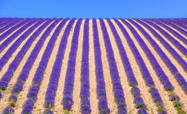 Rows of lavender flowers on a field in Provence, France. Rows of blooming purple lavender flowers on a field in Sault, Provence, France Royalty Free Stock Images