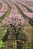 Rows of blooming trees Stock Photography