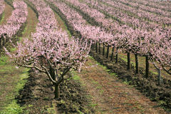 Rows of blooming trees Royalty Free Stock Image
