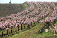 Rows of blooming trees Stock Photo