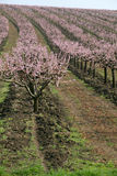 Rows of blooming trees Stock Photos