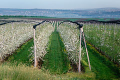 Rows of blooming young apple trees in spring time Royalty Free Stock Images