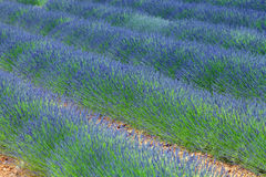 Rows of blossom lavender Stock Photography