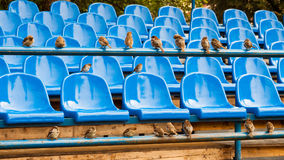 Stadium seats. Rows of blue plastic stadium seats and sparrows Royalty Free Stock Images