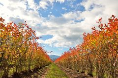 Rows of blueberry bushes in fall color Stock Images