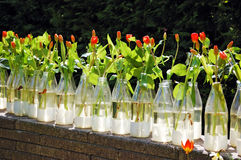Rows of bottles used as flower vase for red tulips Royalty Free Stock Photography