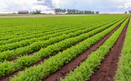 Rows of bright green carrot plants in a Dutch field Royalty Free Stock Images