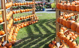 Rows of bright orange pumpkins Stock Image