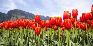 Rows of bright orange tulips against mountains in background. Stock Photo