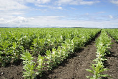 Rows of broad or fava bean on diagonal Royalty Free Stock Photos