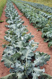Rows of Broccoli Royalty Free Stock Photography