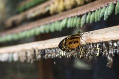 Rows of butterfly cocoons and butterfly. Rows of butterfly cocoons and newly hatched butterfly, Misahualli, Ecuador Royalty Free Stock Photography