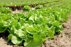 Rows of butterhead lettuce on a field. Rows of fresh lettuce plants in the countryside on a sunny day royalty free stock photo