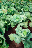 Rows of cabbage Stock Photography