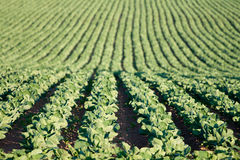 Rows of cabbage on a field. Cabbage growing on a field stock photo