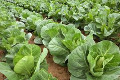 Rows of cabbage on a field royalty free stock images