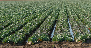 Rows of cabbage in the field Royalty Free Stock Image