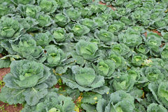 Rows of cabbage on a field Stock Photo