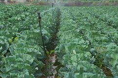 Rows of Cabbage. A field of ripe cabbage being irrigated Stock Photography