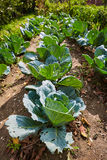 Rows of cabbage in the garden Royalty Free Stock Photo