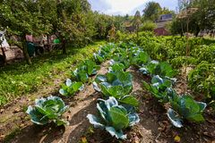Rows of cabbage in the garden Royalty Free Stock Images