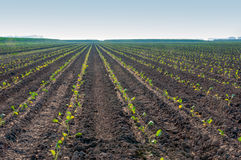 Rows of cabbage plants early in the morning Stock Image