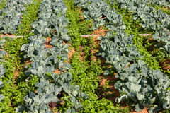 Rows of cabbage vegetable Stock Images