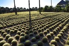 Rows of Cactus at Wirikuta Desert Botanical Garden Puerto Los Cabos Mexico Stock Photography