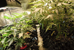 Rows of Cannabis growing in soil Stock Image