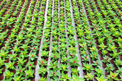 Rows of celosias growing in a greenhouse Royalty Free Stock Image