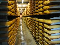 Rows of cheese loafs. Maturing in a cellar Royalty Free Stock Photo